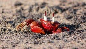 Röda havetkrabba som tycker om det första solljuset Royaltyfri Bild