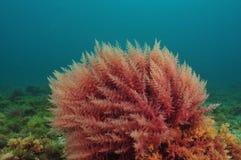 Röda havetogräs royaltyfri fotografi