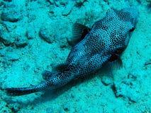 Röda havetPufferfisk arkivbild