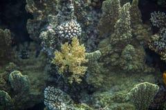 Röda havetrev och gulingbroccolikorall Arkivbild