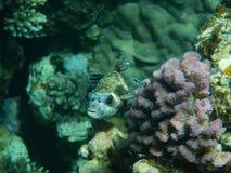 Röda havetshower Royaltyfri Bild