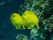Röda havetshower Arkivbilder