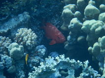 Röda havetshower Arkivfoton