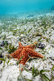 Röda havetstjärna eller sjöstjärna som vilar på vit sand av havgolvet i det karibiska havet Arkivbild