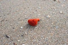 Röda havetsvamp på sanden Arkivfoton