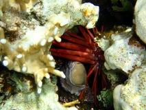 Röda havetvarelser royaltyfria foton