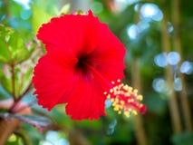 Röda hibiskusblommor 01 Fotografering för Bildbyråer