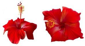 Röda hibiskusblommor Royaltyfri Fotografi