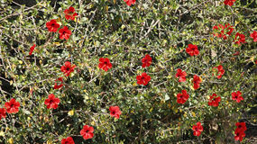 Röda hibiskusmultipelblommor Royaltyfri Bild