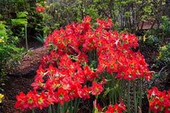 Röda Hippeastrum blommor Arkivbilder
