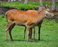 Röda hjortar är idisslare arkivbilder