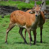 Röda hjortar är idisslare royaltyfri fotografi