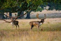 Röda hjortar Arkivbilder