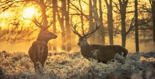 Röda hjortar Arkivfoton
