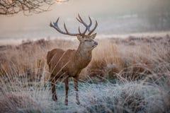 Röda hjortar Arkivfoto