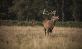 Röda hjortar Royaltyfri Foto