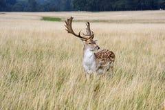 Röda hjortar Royaltyfria Foton