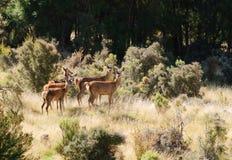 Röda hjortar Arkivbild