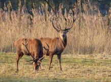 Röda hjortar Royaltyfri Fotografi