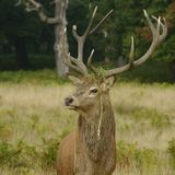 Röda hjortar, hjortar, Cervuselaphus royaltyfri bild