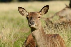 Röda hjortar, hjortar, Cervuselaphus royaltyfri foto