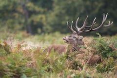 Röda hjortar, hjortar, Cervuselaphus arkivfoto