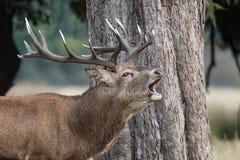 Röda hjortar, hjortar, Cervuselaphus royaltyfria foton