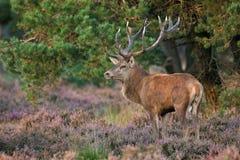 Röda hjortar (Cervuselaphus). fotografering för bildbyråer