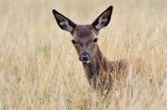Röda hjortar, Cervuselaphus, bambi Royaltyfri Fotografi