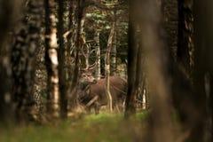 röda hjortar, cervuselaphus, Tjeckien Arkivfoto
