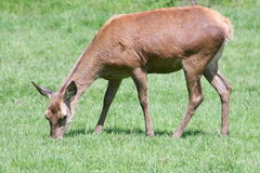 Röda hjortar (Cervuselaphusen) Royaltyfri Fotografi