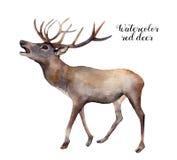 Röda hjortar för vattenfärg Hand målad illustration för löst djur som isoleras på vit bakgrund Julnaturtryck för vektor illustrationer