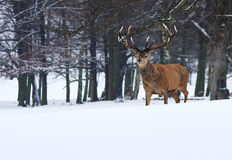 Röda hjortar för vuxen man i snö, Sherwood Forest, Nottingham Arkivfoto