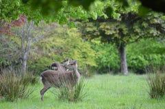 Röda hjortar i den Killarney nationalparken, Irland Arkivbilder