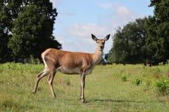 Röda hjortar i det buskigt parkerar, London royaltyfria foton