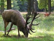 Röda hjortar i Dyrehaven, Köpenhamn Arkivbild
