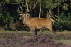 Röda hjortar i ljung Arkivfoto