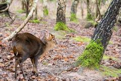 Röda hjortar i natur parkerar royaltyfria bilder