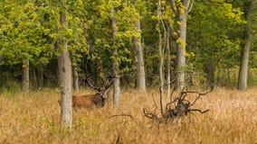 Röda hjortar i nedgången Royaltyfri Bild