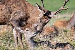Röda hjortar i omfamning arkivbilder