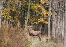Röda hjortar i skog Arkivfoton