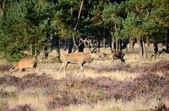 Röda hjortar i skogen Arkivbild