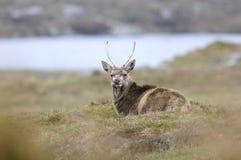 Röda hjortar i Skottland Arkivfoton