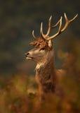 Röda hjortar med en krona royaltyfria foton