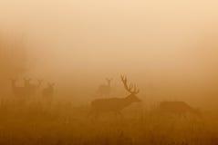 Röda hjortar med hindar Arkivfoto