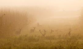 Röda hjortar med hindar Royaltyfri Bild
