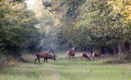 Röda hjortar med hindar i skog Arkivfoto