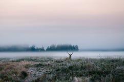 Röda hjortar med horn på kronhjort på det dimmiga fältet i Vitryssland Royaltyfria Bilder