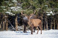 Röda hjortar och en europé Bison Wisent Standing One By en En nobel röd hjort i fokus och stora bruna Bison Out Of Focus Arkivfoton