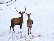Röda hjortar och lismar i snö Arkivbild